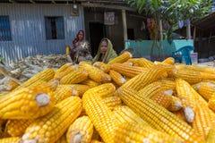 Algunas mujeres locales que recogen el maíz, Manikgonj, Bangladesh Imágenes de archivo libres de regalías