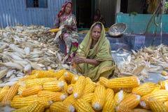 Algunas mujeres locales que recogen el maíz, Manikgonj, Bangladesh Imagenes de archivo