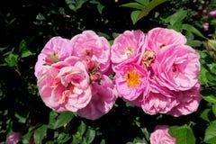 Algunas pequeñas rosas rosadas en un jardín Fotografía de archivo libre de regalías