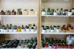 Algunas plantas suculentas dispuestas cuidadosamente en un estante de madera del vintage con un fondo blanco limpio fotos de archivo libres de regalías