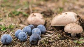 Algunas setas y bayas salvajes en el bosque Fotos de archivo