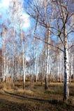Algunos abedules en el bosque Fotos de archivo libres de regalías
