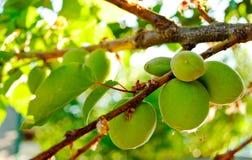 Algunos albaricoques verdes en una rama y las hojas de árbol en un día de verano Foto de archivo libre de regalías