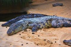 Algunos cocodrilos Fotografía de archivo