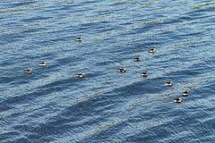 Algunos frailecillos en el mar foto de archivo libre de regalías
