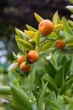 Algunos mandarines (reticulata de la fruta cítrica) que cuelgan en Bush, Italia Imagen de archivo