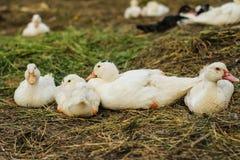 Algunos patos en la granja avícola Imagen de archivo