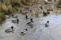 Algunos patos en una cala foto de archivo