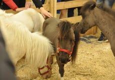 Algunos pequeños caballos Foto de archivo libre de regalías