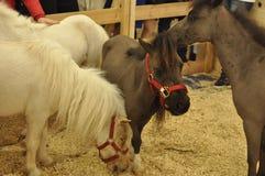 Algunos pequeños caballos Imágenes de archivo libres de regalías