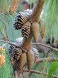 Algunos pequeños pinecones preciosos macros en luz del sol y agudos y claros en verano en Maui Hawaii Imagen de archivo libre de regalías