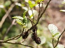 Algunos pequeños pinecones preciosos macros en luz del sol y sostenido y clea Foto de archivo libre de regalías