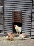 Algunos pollos en una granja fotos de archivo