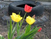 Algunos tulipanes de las flores y auto del neumático Imagenes de archivo