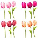 Algunos tulipanes realistas en blanco Imagen de archivo