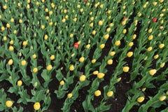Algunos tulipanes rojos entre amarillo unos fotografía de archivo