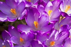 Alguns açafrões roxos na mola Imagem de Stock