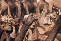 Alguns camelos em Pushkar, Mela Foto de Stock Royalty Free