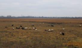 Alguns carneiros em um campo fotos de stock royalty free