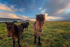 Alguns cavalos curiosos em Laugarbakki durante o nascer do sol foto de stock royalty free