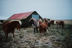 Alguns cavalos islandêses em um campo Foto de Stock Royalty Free