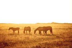 Alguns cavalos que pastam Fotos de Stock Royalty Free