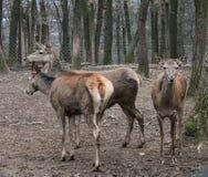 Alguns cervos fêmeas imagens de stock royalty free