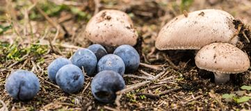 Alguns cogumelos e bagas selvagens na floresta Fotos de Stock