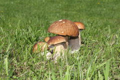 Alguns cogumelos na grama verde Fotos de Stock Royalty Free