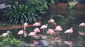 Alguns flamingos cor-de-rosa em um Central Park de Hong Kong vídeos de arquivo