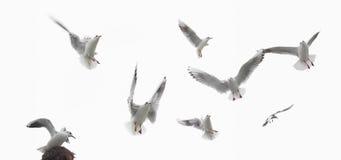 Alguns pássaros, pombos isolados Fotos de Stock
