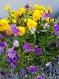 Alguns pansies bonitos em um potenciômetro da planta imagens de stock royalty free