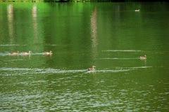 Alguns patos Fotografia de Stock