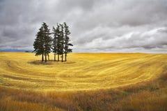 Alguns pinhos em Montana imagens de stock