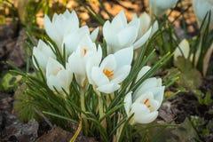 Alguns saltam açafrão das flores que floresce com botões brancos Foto de Stock