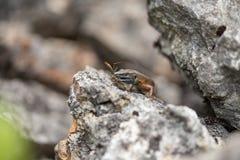 Algyroides dalmata (nigropunctatus di Algyroides) Fotografia Stock Libera da Diritti