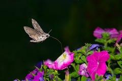 Alheña Hawk Moth, ligustri de la esfinge Fotografía de archivo