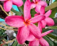 Alheli Frangipani Plumeria Rubra foto de stock royalty free