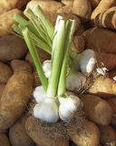 Alho fresco em batatas Fotos de Stock