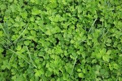Alho-porro e aipo verdes no crescimento Fotografia de Stock Royalty Free