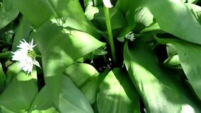 Alho selvagem na erva da mola, a vegetal e a medicinal vídeos de arquivo