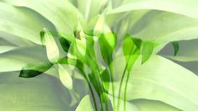 Alho selvagem na erva da mola, a vegetal e a medicinal em uma floresta alemão filme