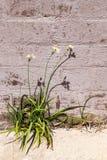 Alho selvagem que cresce fora de uma parede de tijolo Imagem de Stock Royalty Free