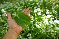 Alho selvagem - ursinum do Allium Imagem de Stock Royalty Free
