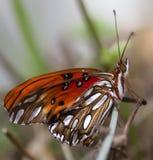 Ali arancio del primo piano della farfalla della fritillaria del golfo fotografie stock libere da diritti