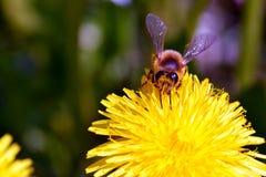 Ali dell'ape Fotografie Stock