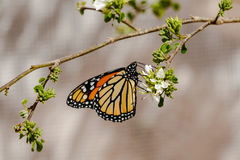 Ali della farfalla della regina piegate, alimentandosi fiore Fotografie Stock Libere da Diritti
