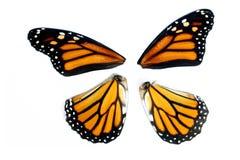 Ali della farfalla di monarca Immagini Stock
