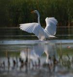 Ali di diffusione alba di Egreta del grande egret bianco Fotografia Stock Libera da Diritti