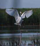 Ali di diffusione alba di Egreta del grande egret bianco Fotografie Stock